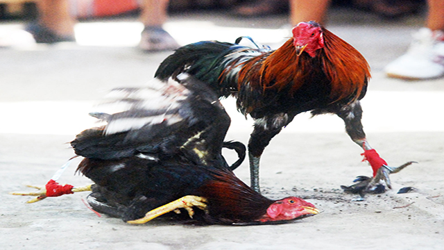 Main Judi Sabung Ayam Online Terbaru