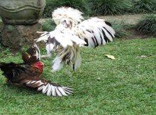 Promo Bonus Judi Sabung Ayam Terbesar